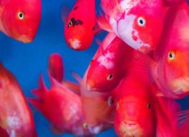 鲜艳好看的金鱼图片