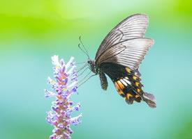 一组黑色蝴蝶在紫色花丛旁边