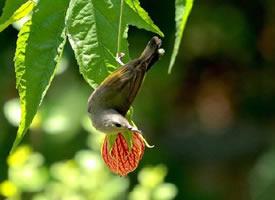 金铃花上的太阳鸟图片