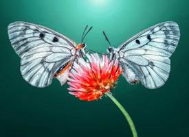 如花似锦的蝴蝶微距摄影作品