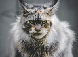 一组活泼可爱的缅因猫图片