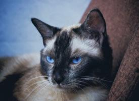 一组帅气的暹罗猫图片