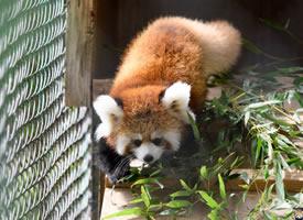 大耳朵的兰花小熊猫图片