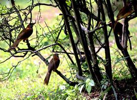 树枝上的画眉鸟图片