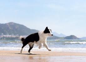 一组聪明可爱的边牧狗狗