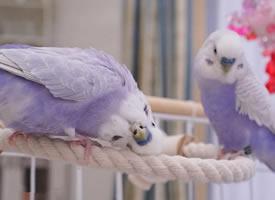 一组清新的紫色小鹦鹉