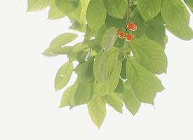 一组夏日绿色小清新樱桃图片