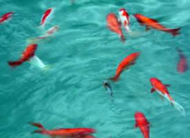 逍遥自在的锦鲤鱼图片