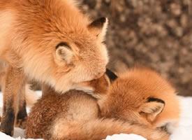 来点儿北狐牧场的毛绒绒解暑吧
