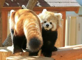 一组长尾巴的小熊猫图片