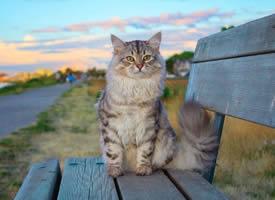 贪玩好动的西伯利亚森林猫