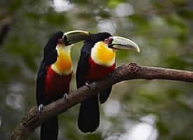 乖巧可爱的巨嘴鸟图片