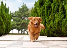 青岛拍摄的金毛狗狗图片