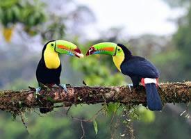 一组可爱的巨嘴鸟图片