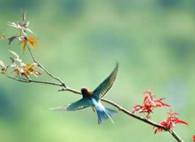 活泼可爱的蓝喉蜂虎图片