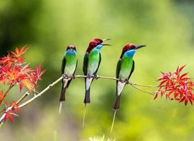 迷人好看的蓝喉蜂虎鸟图片