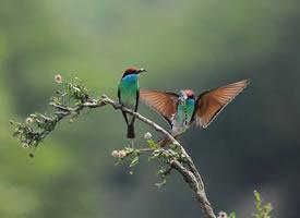 枝头上的蓝喉蜂虎鸟图片