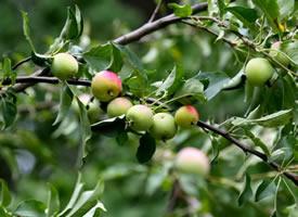 宣武公园苹果垂枝图片