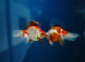 一组精美的金鱼高清图片