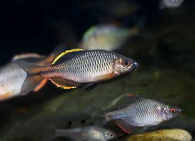 中国本土原生鱼类图片
