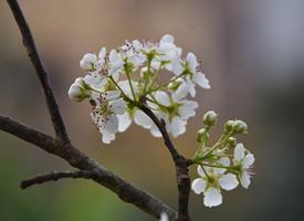洁白唯美的梨花图片桌面壁纸
