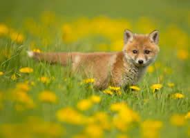 可爱的小狐狸高清桌面壁纸
