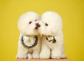 两只小可爱棉花糖博美
