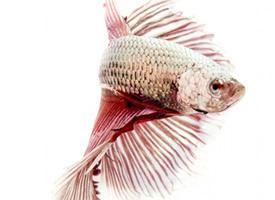 鲜艳漂亮的泰国斗鱼