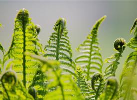 蕨类植物绿色养眼高清桌面壁纸