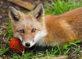 特别喜欢各种丰容玩具的狐狸