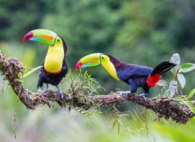 森林鸟类巨嘴鸟图片