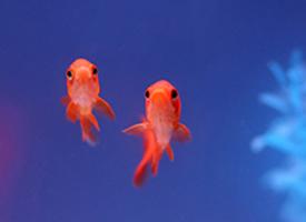 一组漂亮的小金鱼图片
