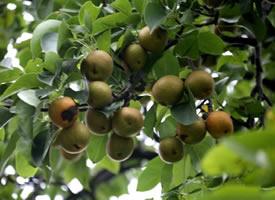 还挂在树上的梨子图片