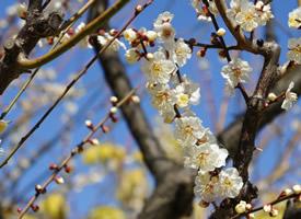 清新白色梅花图片桌面壁纸