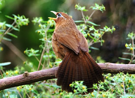 名贵的画眉鸟图片