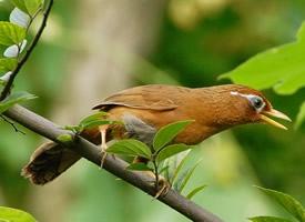 外形美观的画眉鸟图片