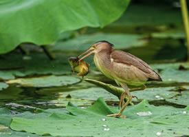 一组黄苇鳽抓鱼图片