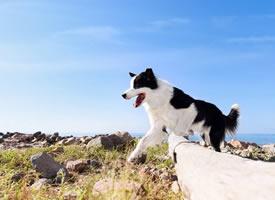 一组黑白色的柯基和边牧狗狗