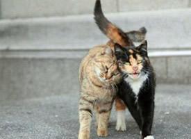 一组情侣猫咪图片