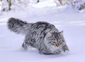 行走中的西伯利亚森林猫男孩