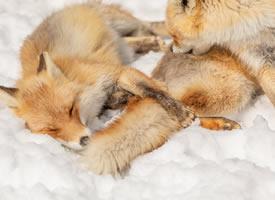 有着长长尾巴的狐狸图片