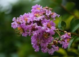一组大观园美美的紫薇图片
