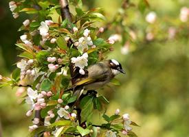 一组花枝上的小鸟图片