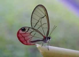 一组有着隐形的翅膀的蝴蝶图片