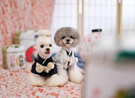 一组像可爱娃娃一样的狗狗