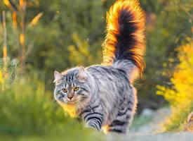 活泼好玩的西伯利亚猫图片