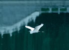 白鹭在天地间翱翔嬉戏
