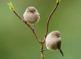 毛茸茸的短嘴长尾山雀图片