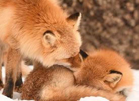 一组北狐牧场的狐狸图片