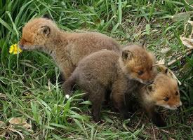 一组超可爱奶萌的狐狸图片